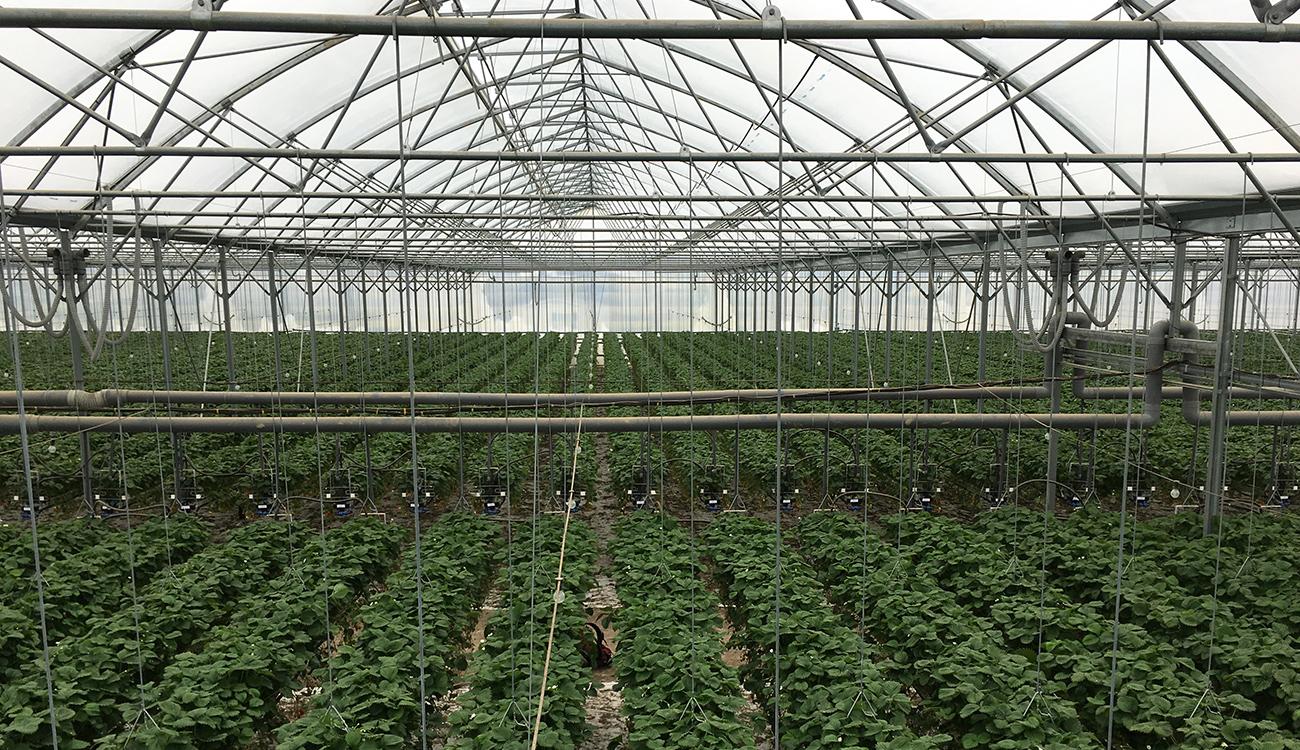 Erste ermutigende Ergebnisse bei Aufbringung von Transpar vor der Erdbeersaison