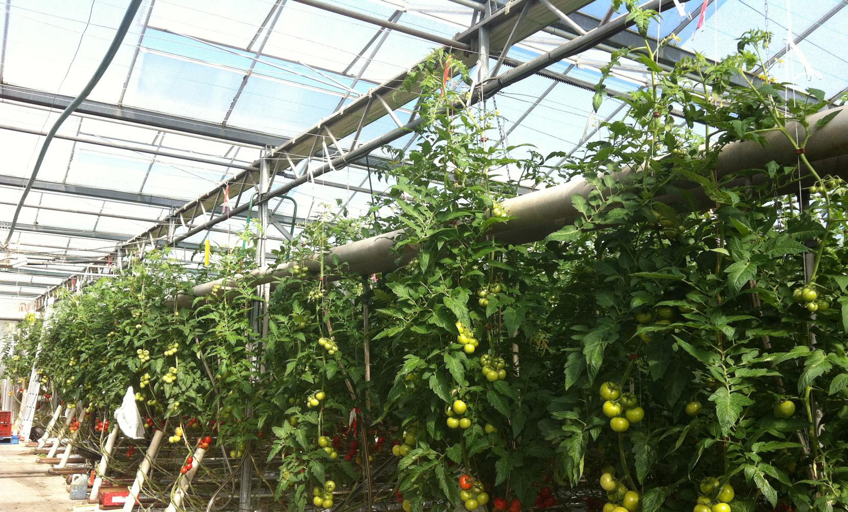 Culture de tomates sous serres