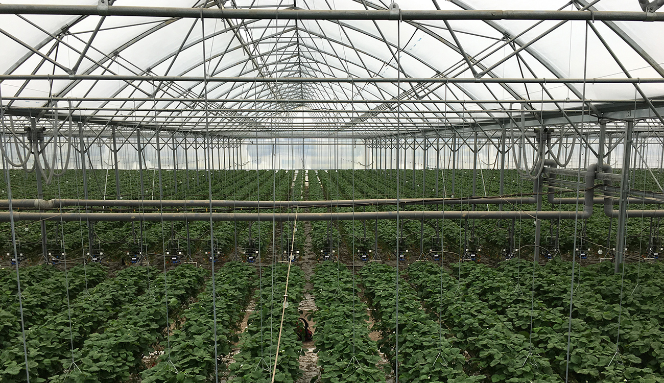 Aardbeien teelt in plastic kas met Transpar