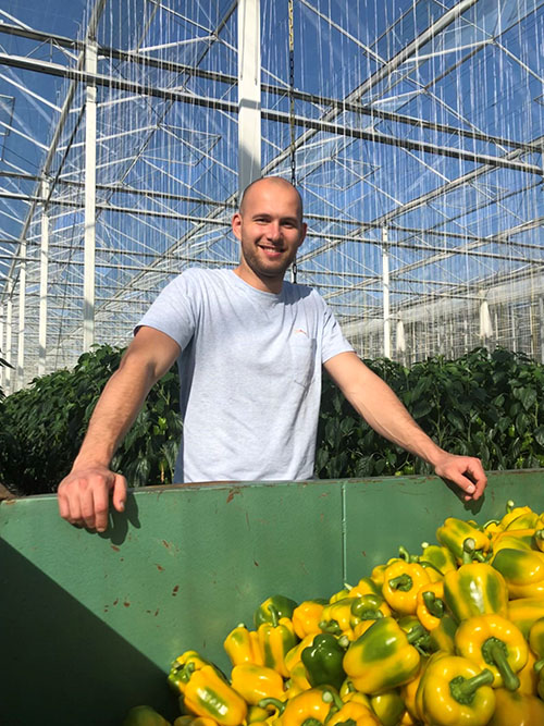 Luc van Den Bosch with beautiful sweet pepper in the greenhouse